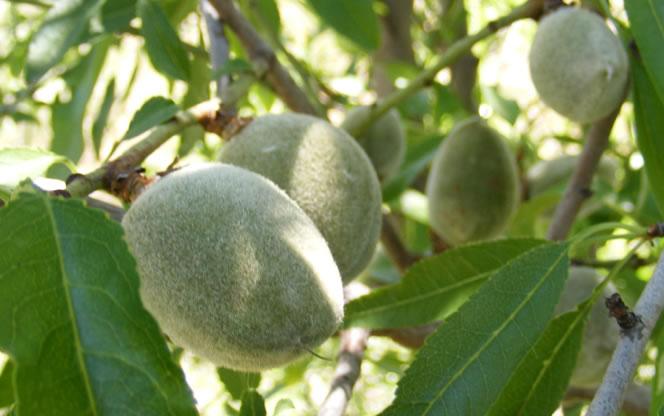 Almendras, frutos del Amigdalus communis