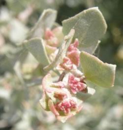 Flores de Atriplex halimus