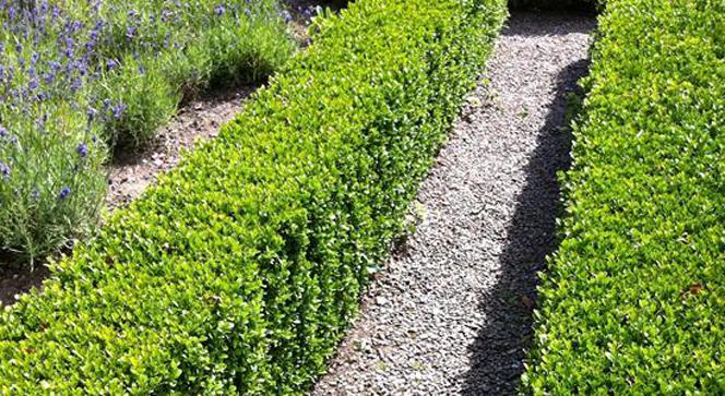 Buxus sempervirens boj restauraci n paisaj stica - Plantas para hacer setos ...