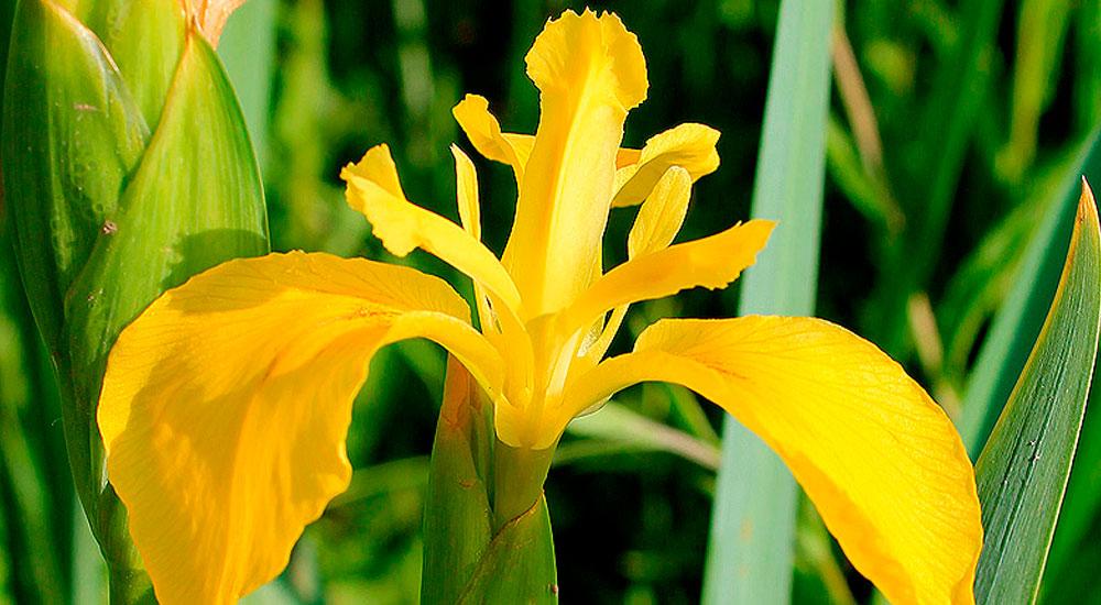 Flor de Iris pseudacorus
