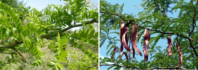 Gleditsia tiracantos o Acacia de tres espinas
