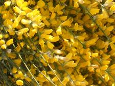 Flores de Genista cinérea