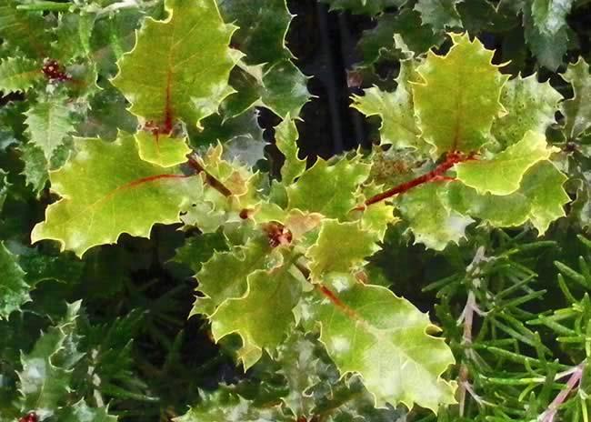 El Quercus faginea comparte hábitat con las especies típicas del