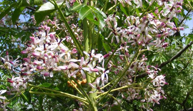 Floración de Melia azederach
