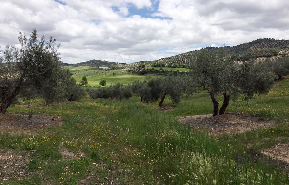 Cómo poner freno a la erosión en el olivar