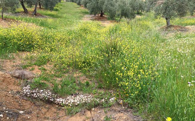 La primavera en los olivares bien conservados