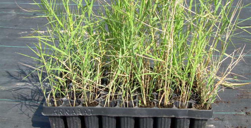Cultivo del Phragmites australis
