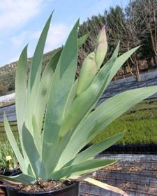 Planta de Iris germánica