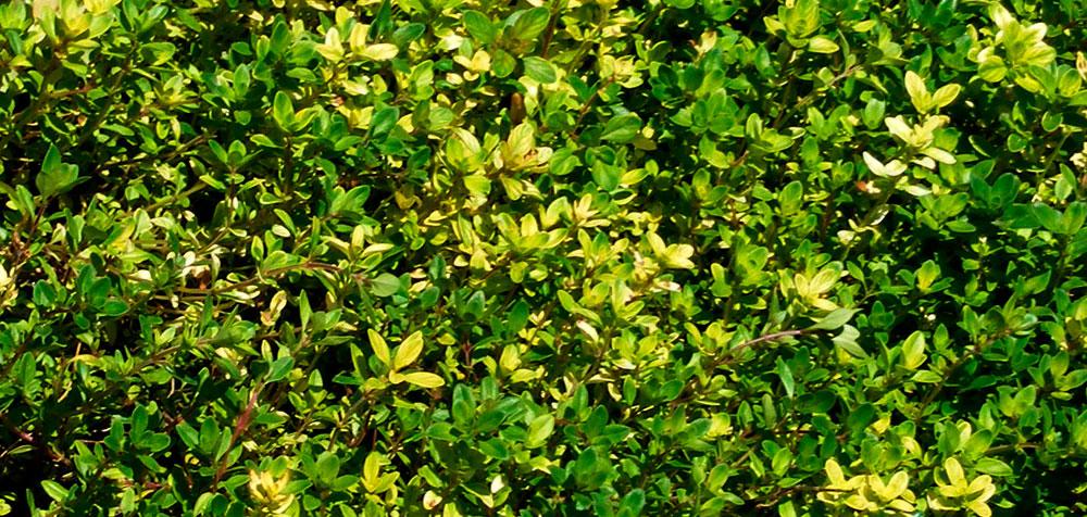 Planta de Thymus serpyllum