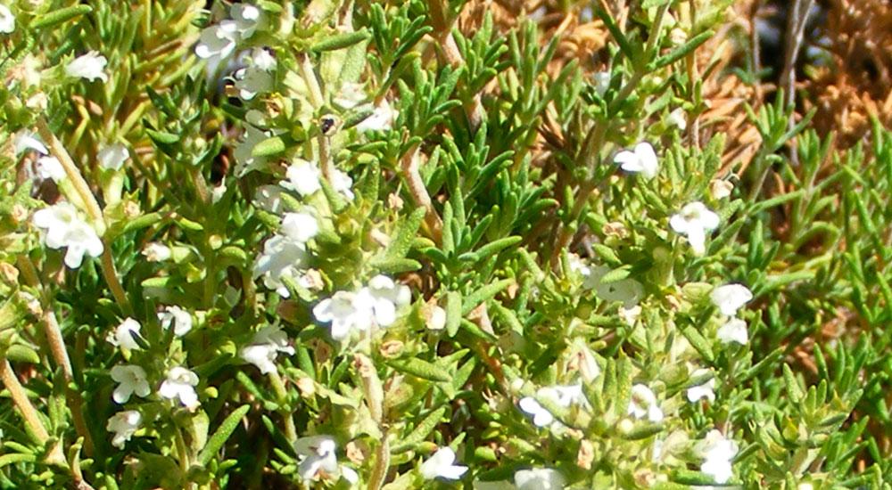 Planta de Thymus zygis