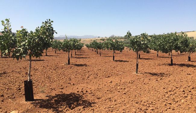 Plantaciones agrícolas de pistacho