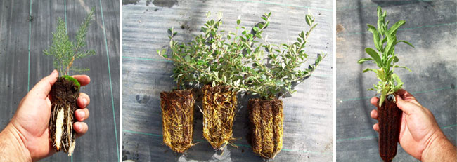Cultivos con sistema de autorepicado aéreo