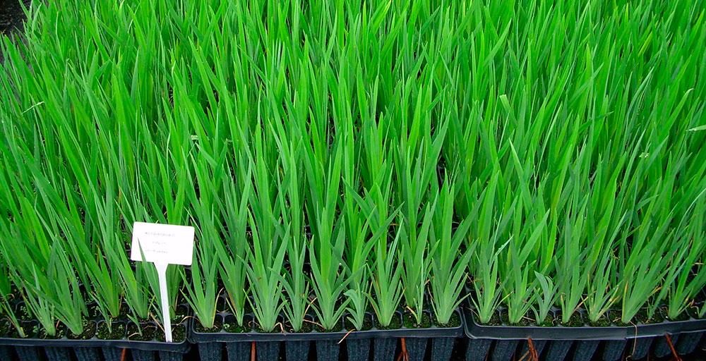 Plantas de Iris pseudacorus