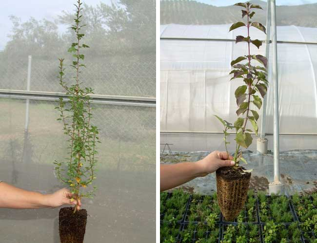 Mayor vegetación en bandejas forestales