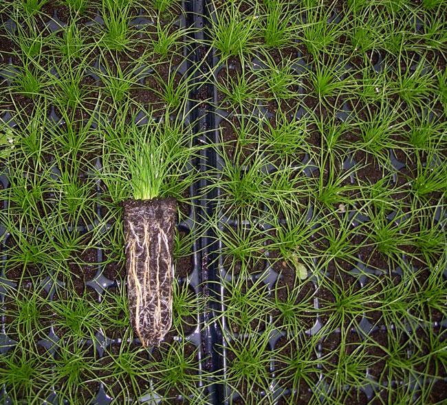 Plantas macrófitas Scirpoides holoschoenus