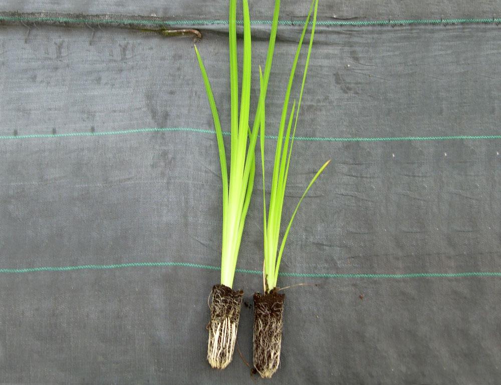 Plantel de Iris pseudacorus
