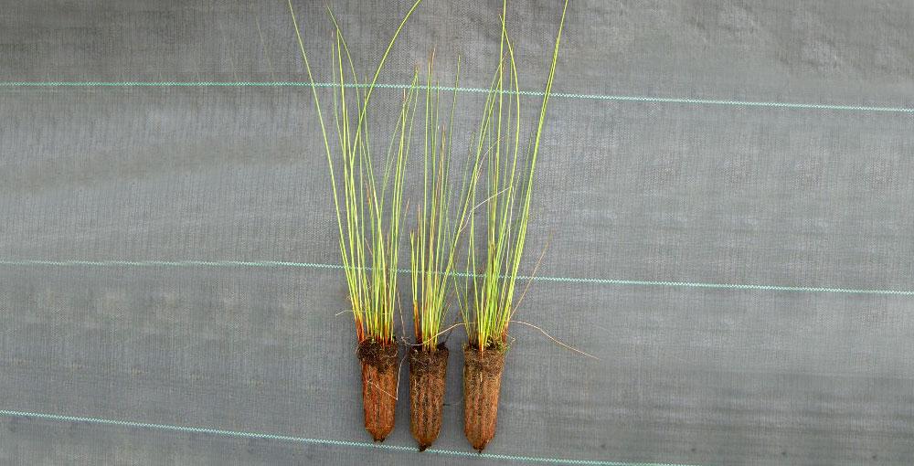 Plantel de Juncus effusus
