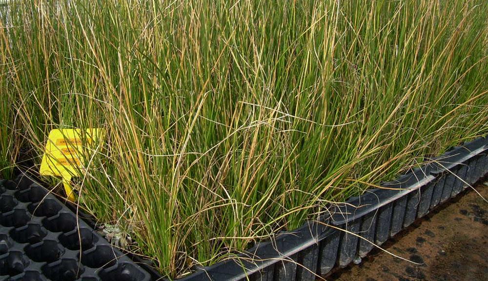 Plantel de Scirpus lacustris