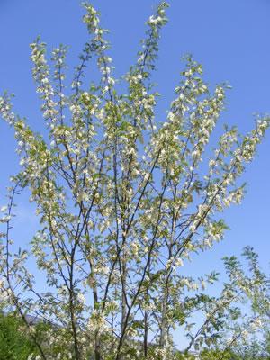 Ejemplar joven de Robinia pseudoacacia