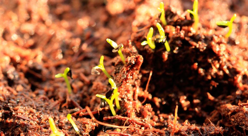 Semillas germinando en una hidrosiembra