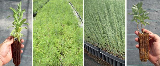 Cat logo general de plantas restauraci n paisaj stica for Preparacion de sustrato para viveros forestales
